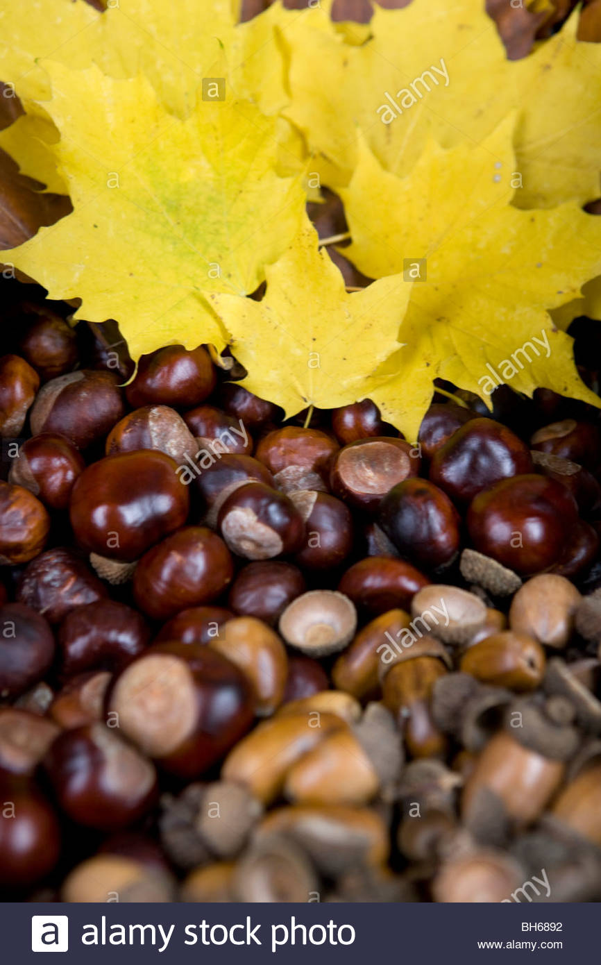 Acorns, conkers and autumn leaves, close-up - Stock Image