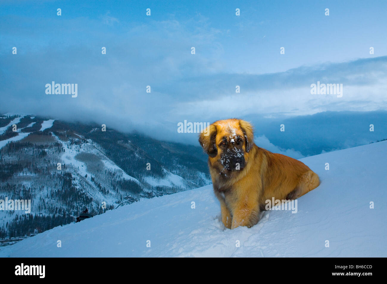 Leonberger sitting on a hill with the Vail Ski Resort behind. - Stock Image