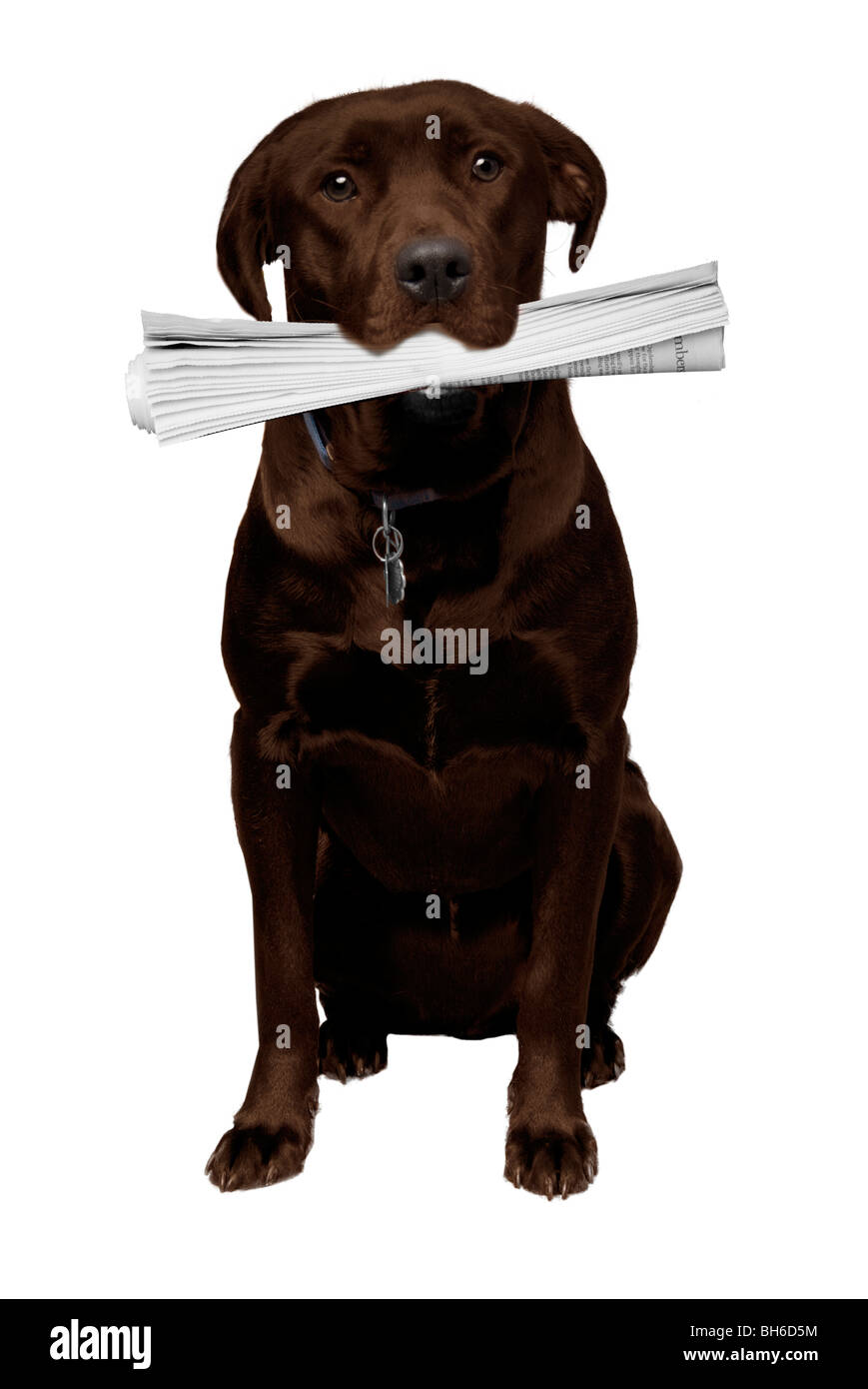 Reddish Brown Labrador Retriever bringing the newspaper - Stock Image