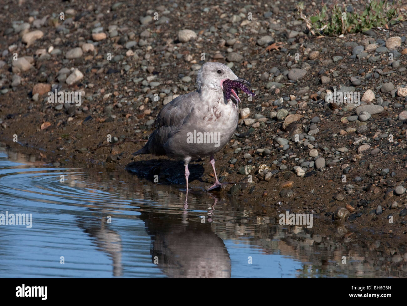 Glaucous-winged Gull Larus glaucescens immature with a starfish in his beak at French Creek, Vancouver Island BC - Stock Image