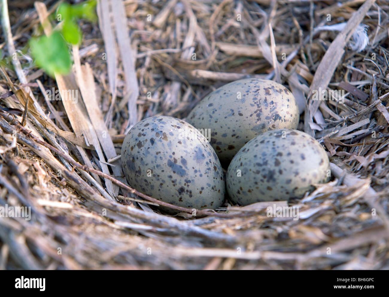 Herring Gull eggs on the nest. - Stock Image