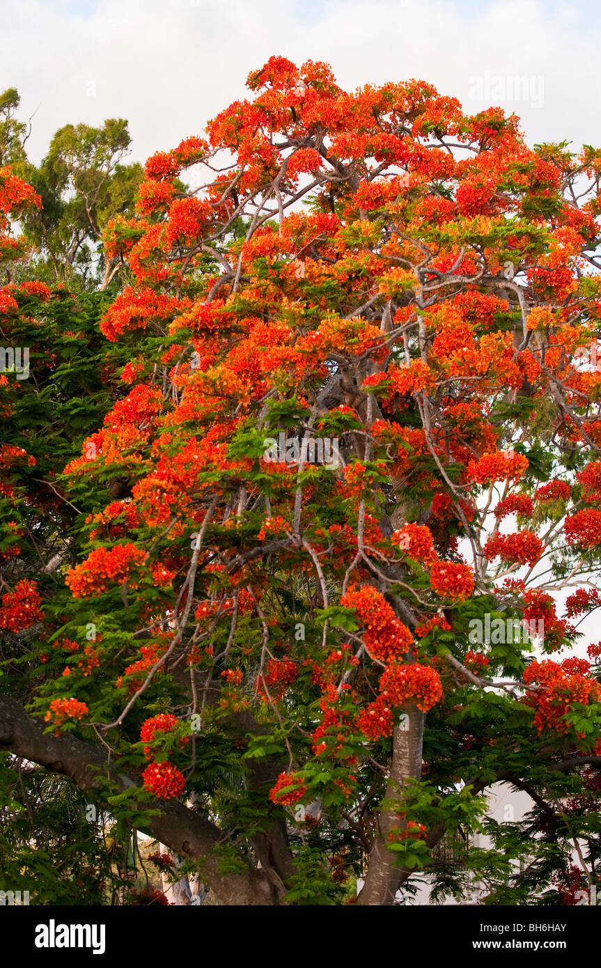 Royal Poinciana tree in bloom, Brisbane, Queensland, Australia - Stock Image