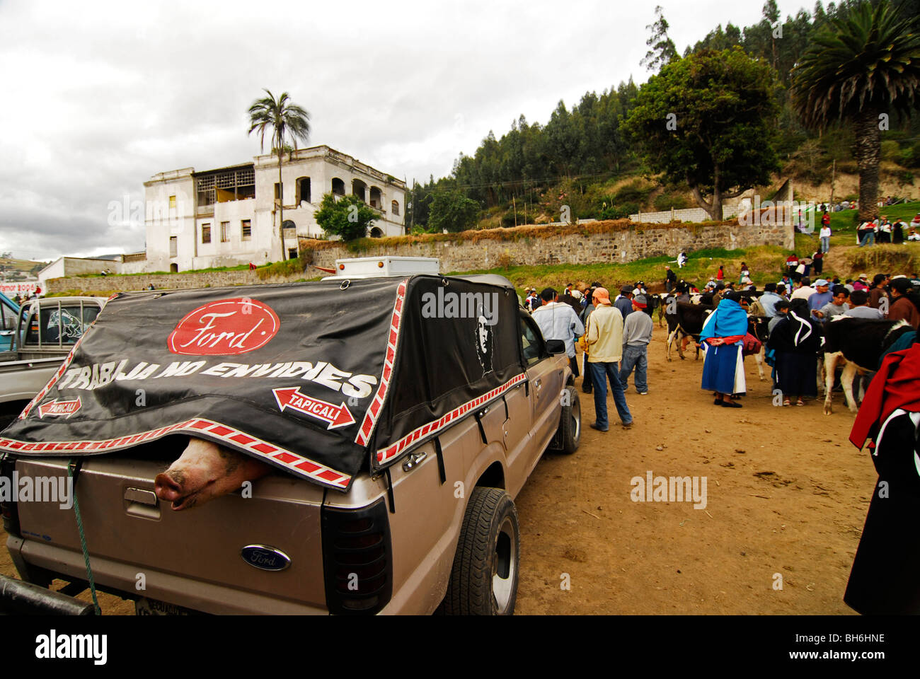 Ecuador, Otavalo, the pink nose of a pig stuck at the back of a pick-up under a plastic sneaking out, at the cattle - Stock Image