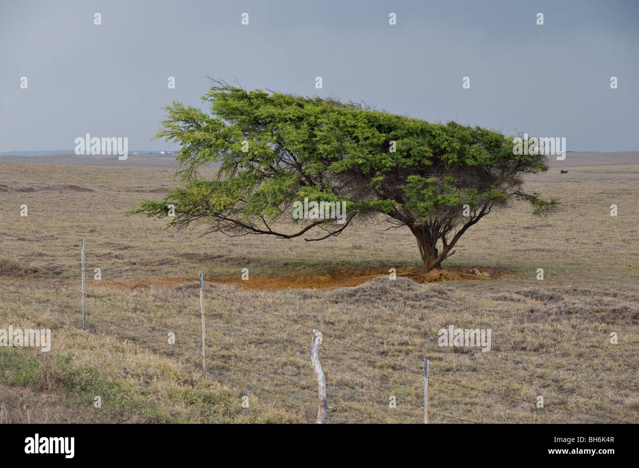 Elongated tree due to wind - Stock Image