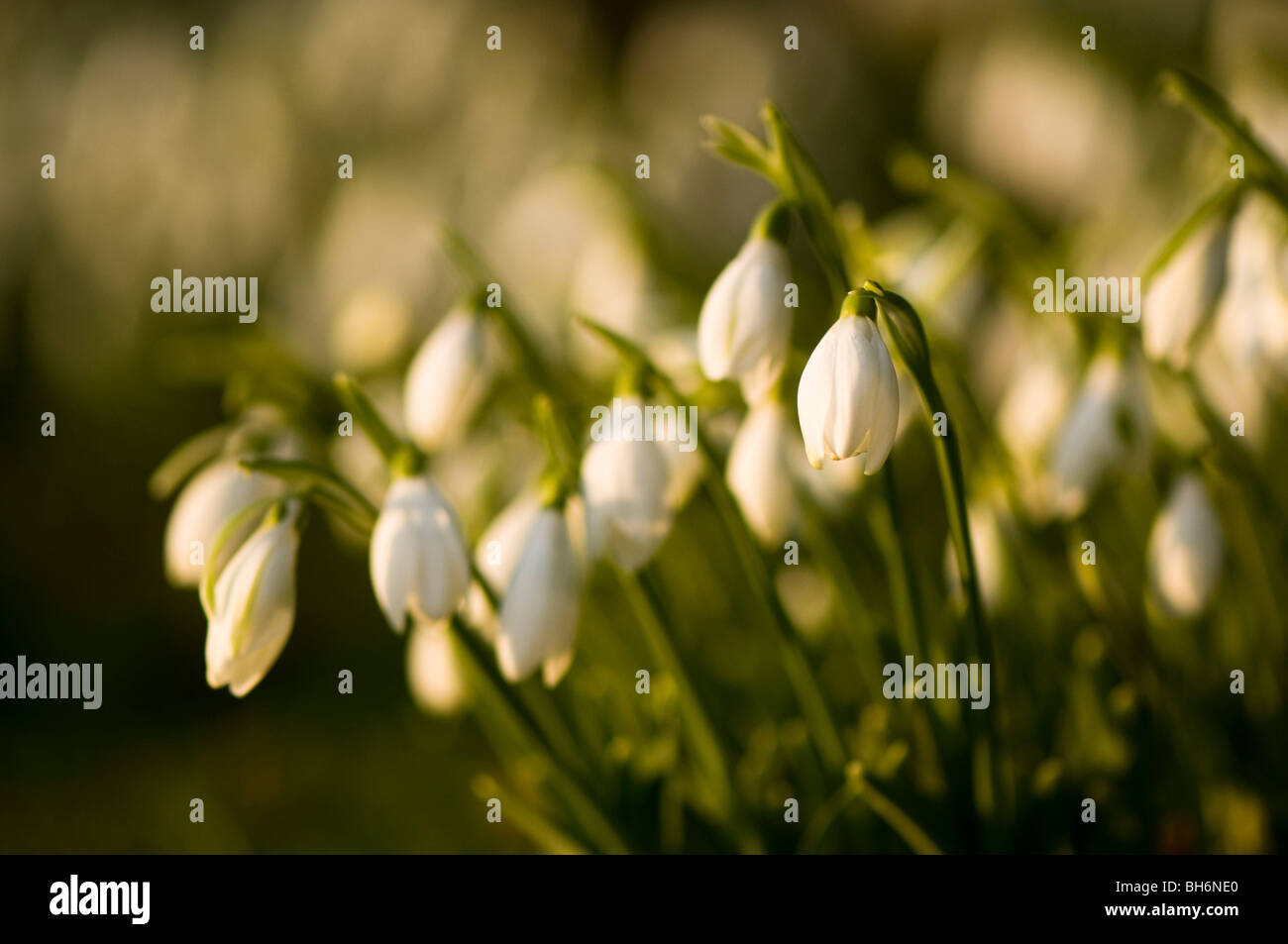 Close up of snowdrops starting to flower in the woods at Painswick Rococo Garden in The Cotswolds - Stock Image