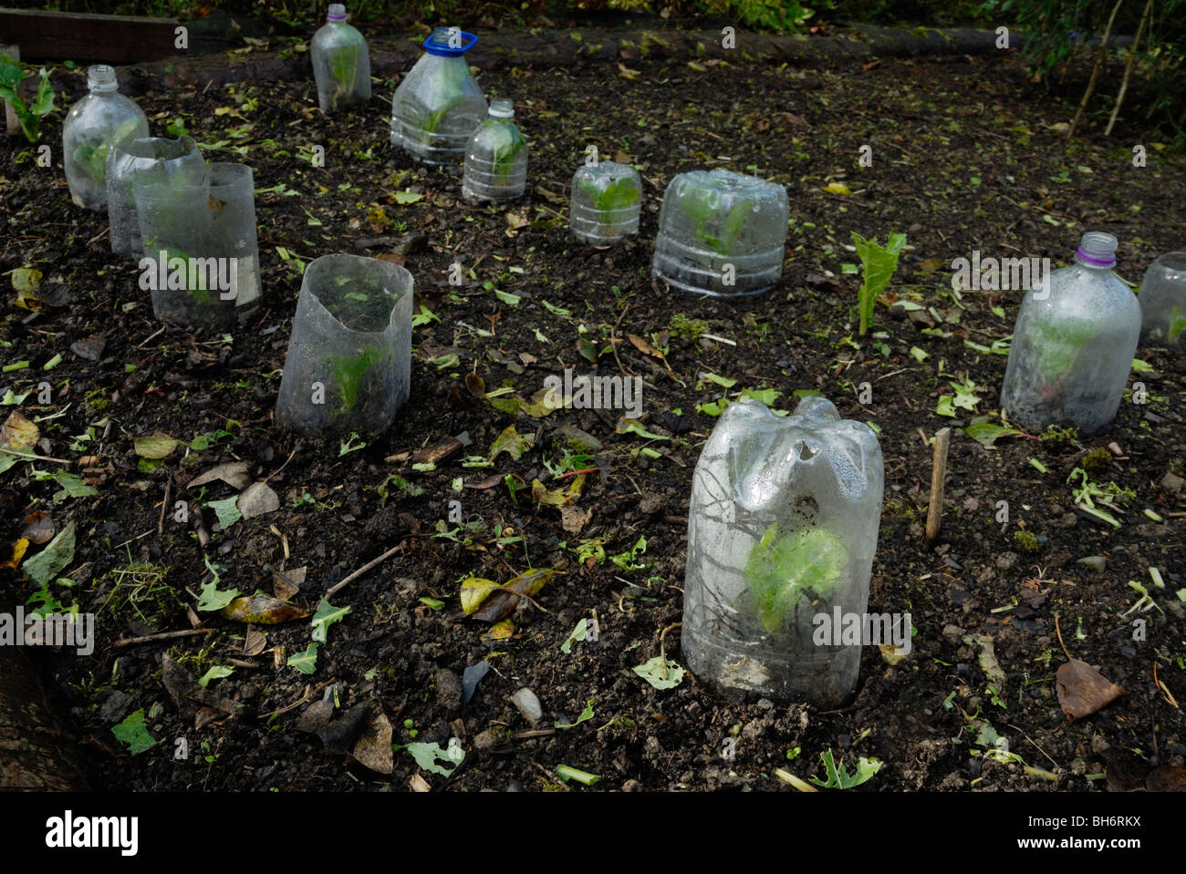 Young Spinach plants protected from pests and frost with plastic bottles, Wales - Stock Image