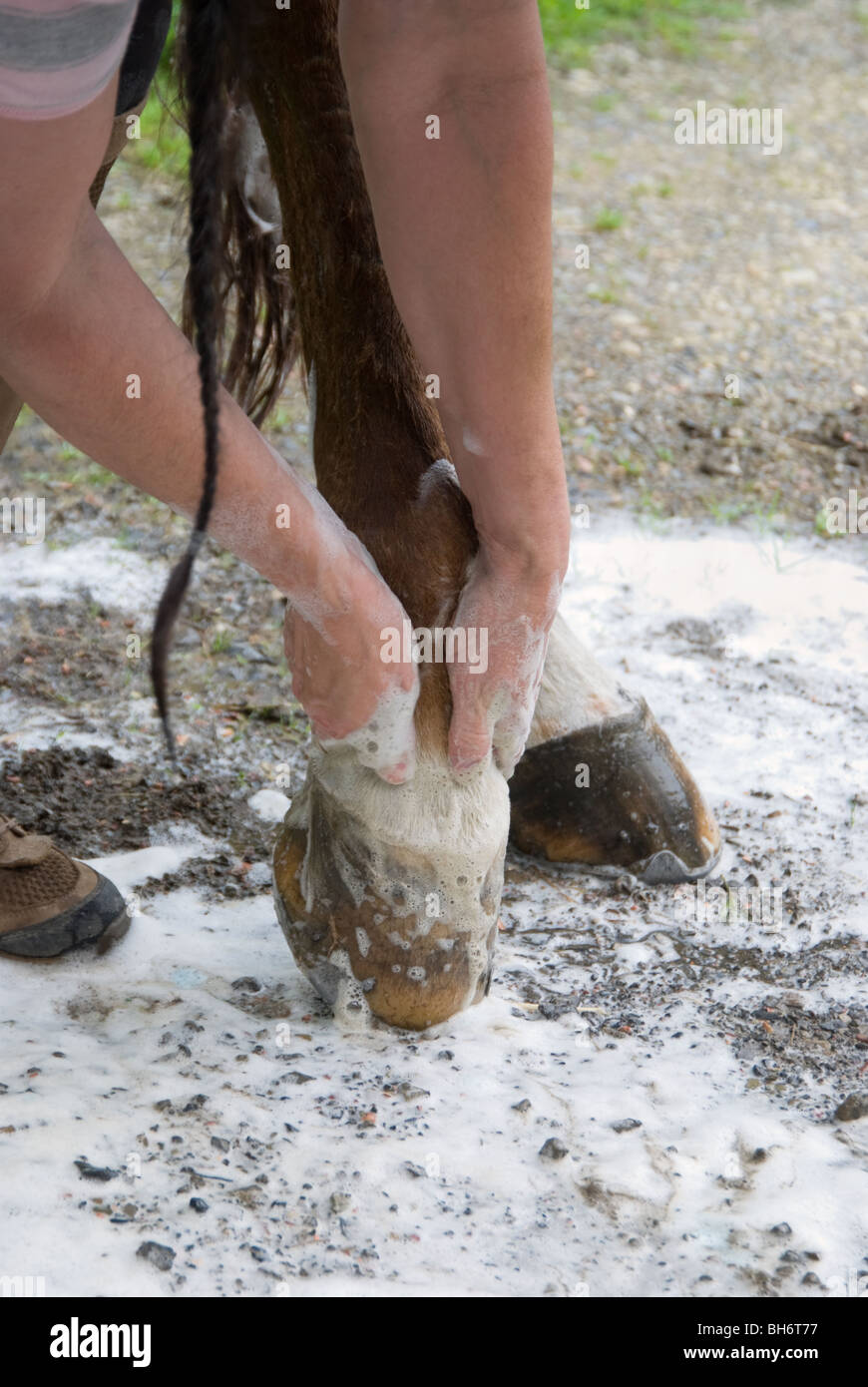 Close up photo of hands washing horse hooves with soap suds. - Stock Image