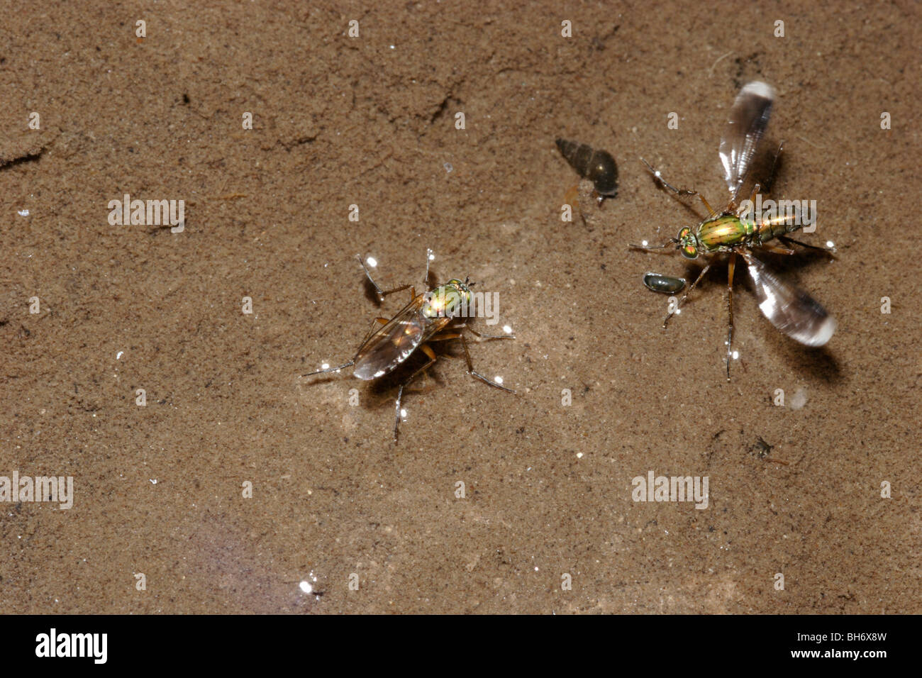 Long-headed fly (Poecilobothrus nobilitatus) male flicking his wings rapidly in courtship signalling to a female - Stock Image