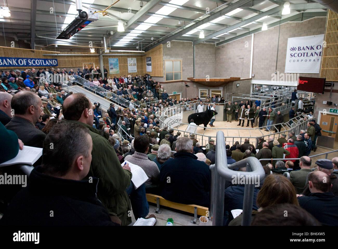 United Auctions Stirling Livestock Market - Stock Image