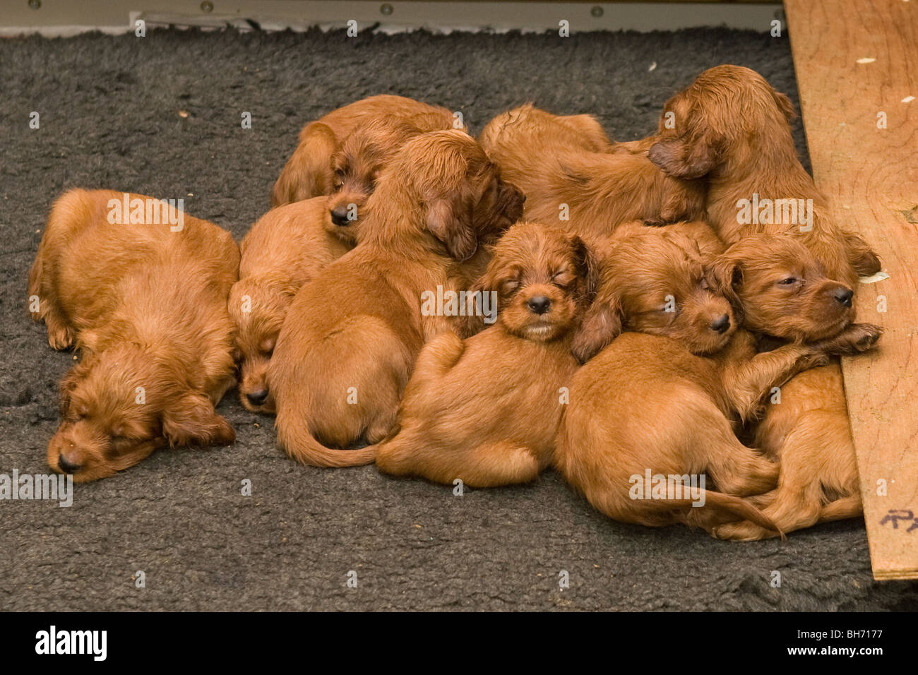 Litter of young irish setter puppies sleeping - Stock Image