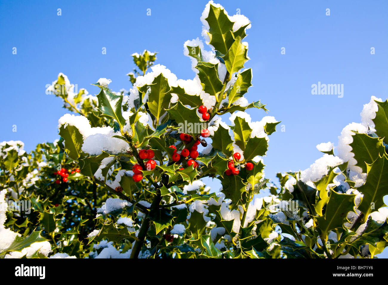 Christmas holly under snow - Stock Image