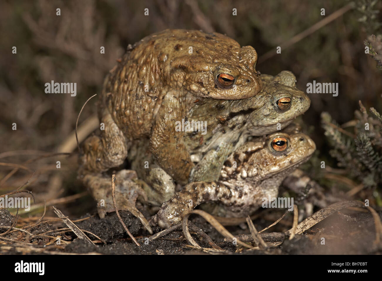 Common toad, Bufo bufo mating pair in Amplexus with a second male on way to breeding pond, Allerthorpe Common, East - Stock Image