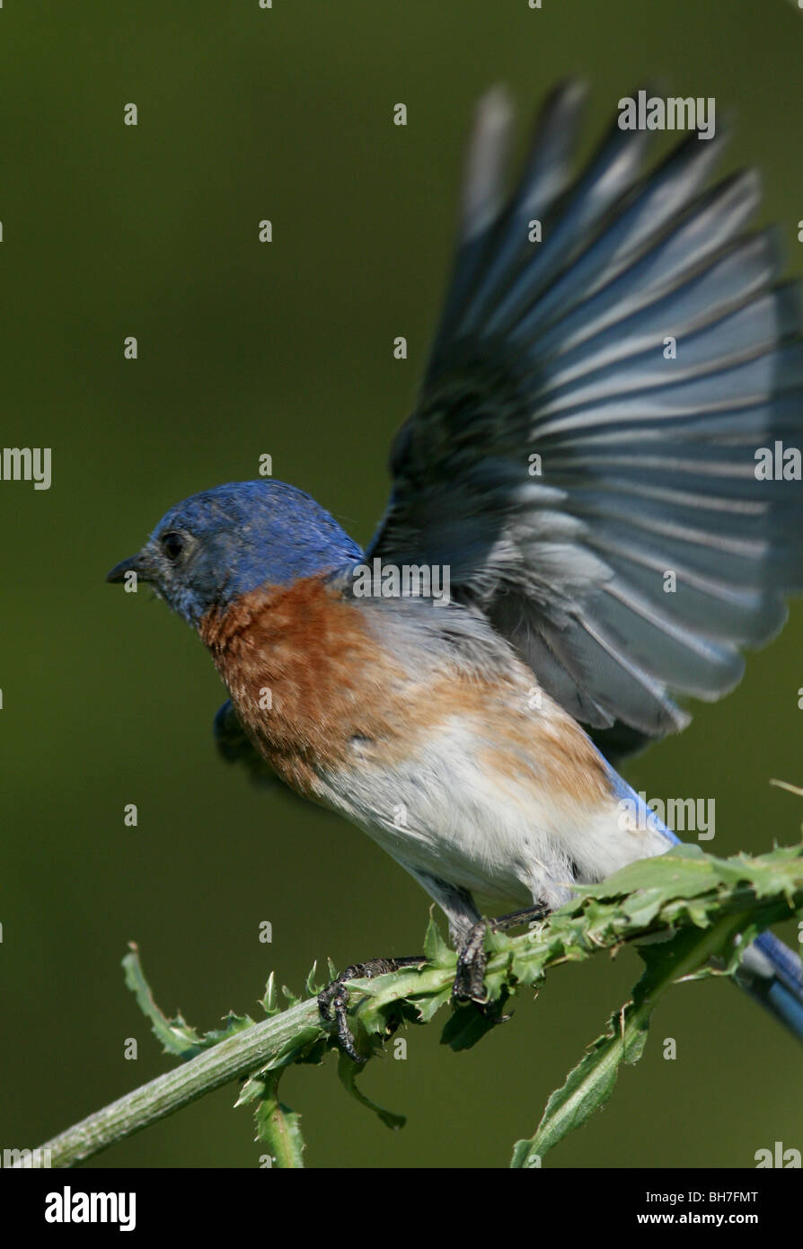 eastern bluebird male fly flap colorful songbird song bird blue kentucky usa america united states feed food insect - Stock Image