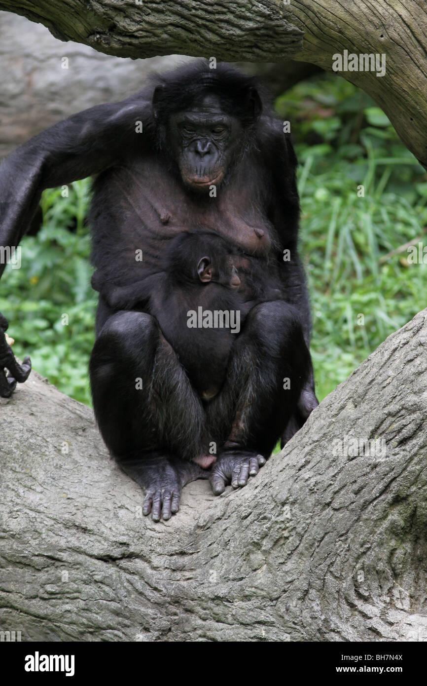 Bonobo baby Pygmy Chimpanzee chimp cincinnati zoo - Stock Image