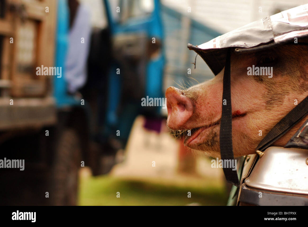Ecuador, Otavalo, the pink nose of a pig stuck at the back of a pick-up under a plastic sheet, sneaking out, at - Stock Image