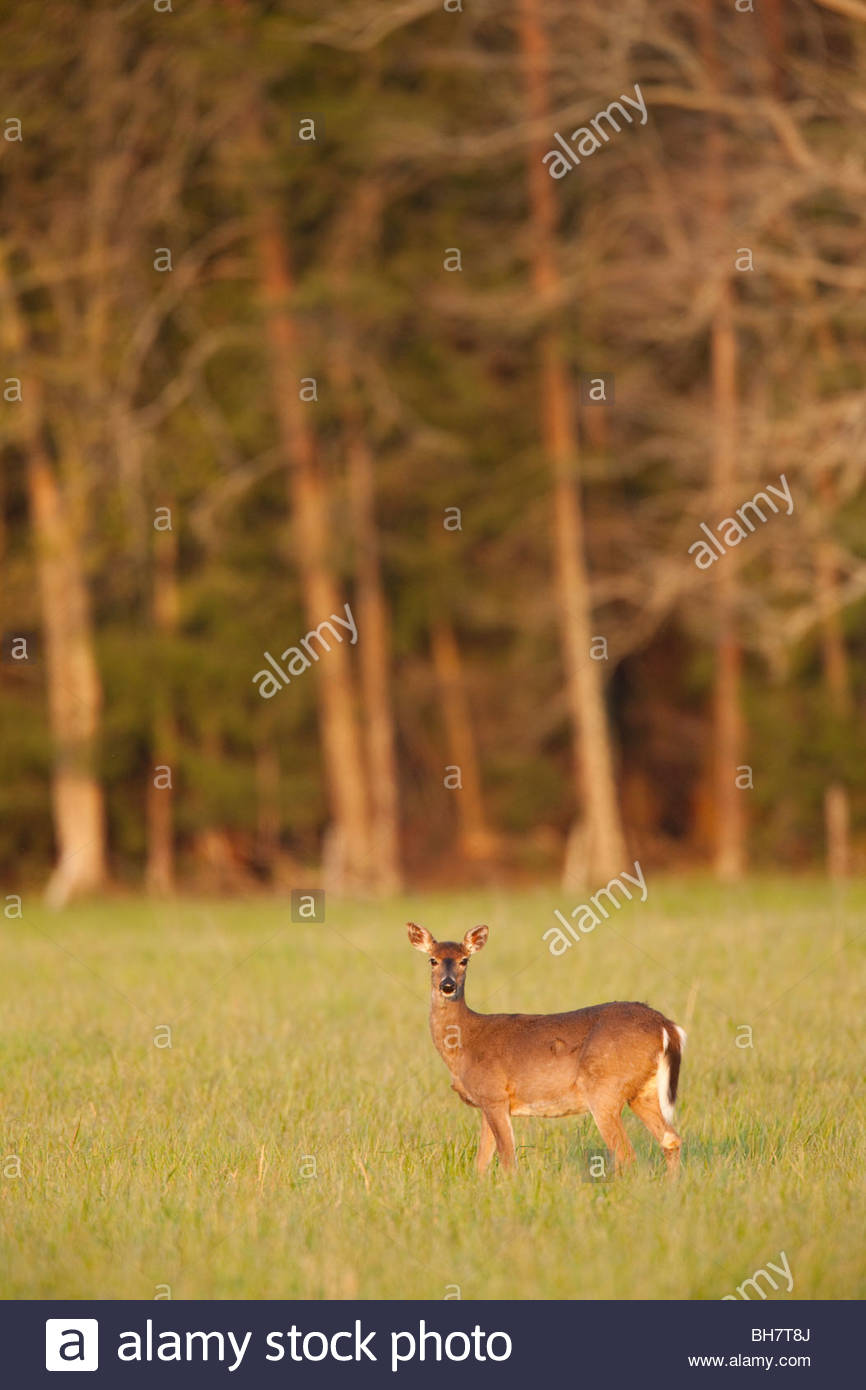 White-Tailed Deer, Cades Cove, Great Smoky Mountains National Park - Stock Image