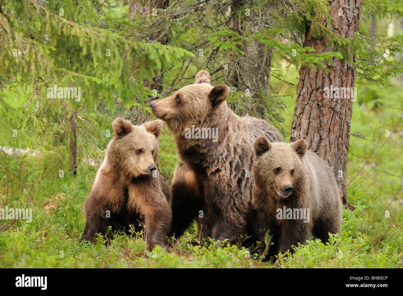 European Brown Bear Ursos arctos Mother and 1 year old cubs Photographed in Finland - Stock Image