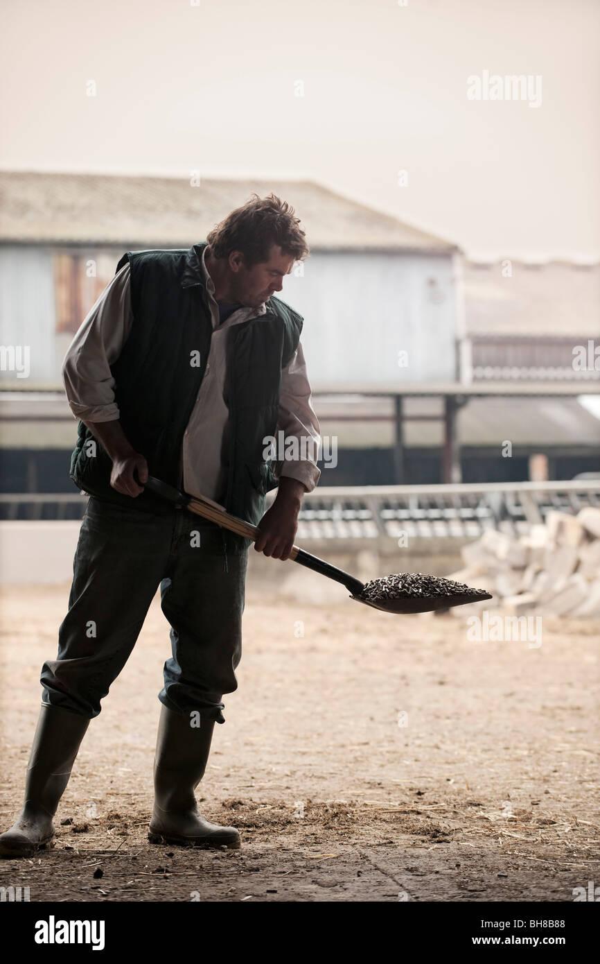 farmer shoveling animal feed - Stock Image