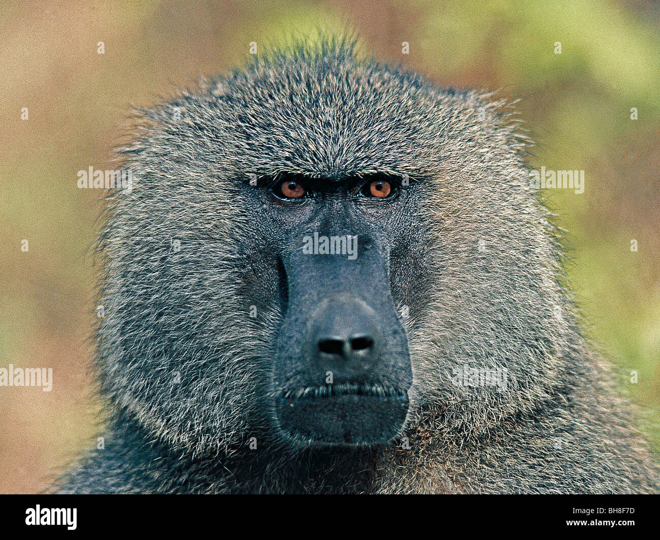 Portrait of male Olive Baboon. Lake Manyara National Park, Tanzania, East Africa. - Stock Image