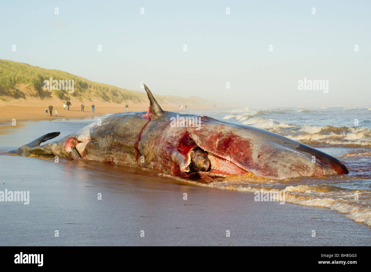 A dead Sperm Whale (Physeter macrocephalus) washed up on Balmedie ...