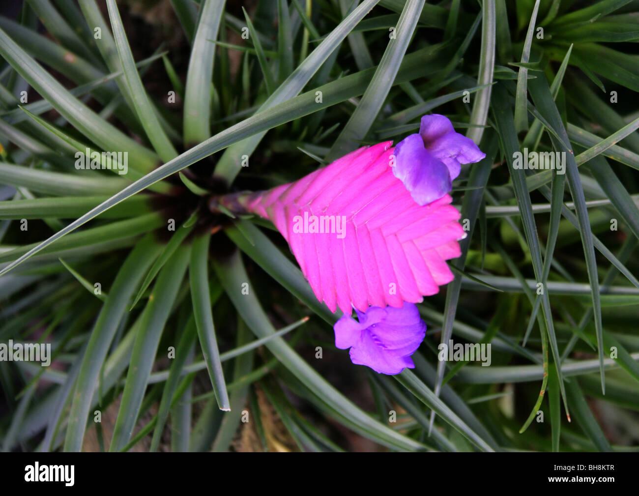 Pink Bromeliad Flower Stock Photos Pink Bromeliad Flower Stock