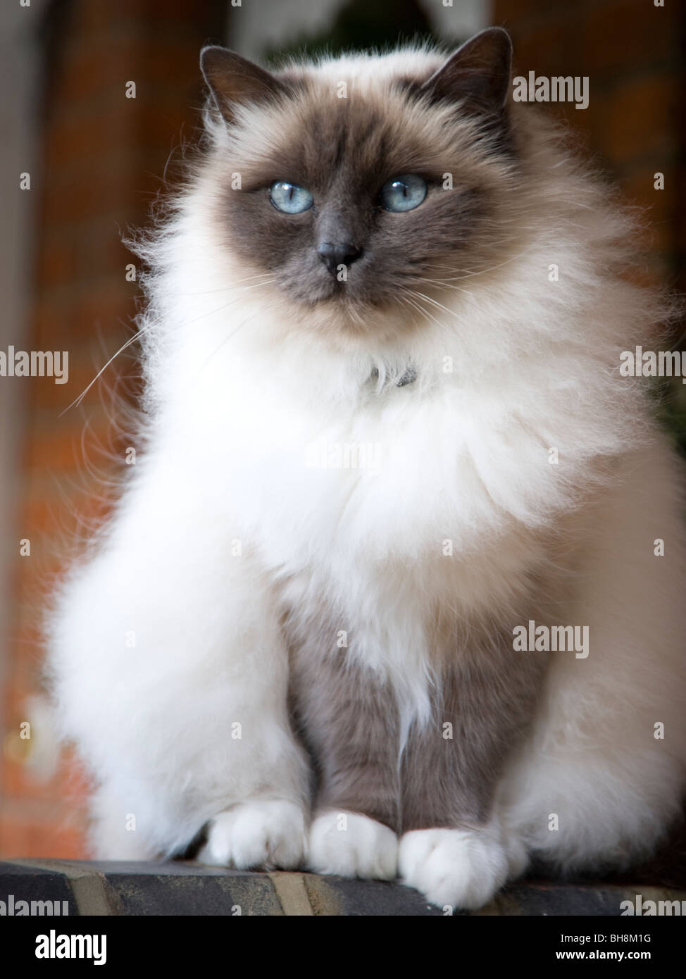 M Birman Cia S.a.i.c A Birman breed cat wit...