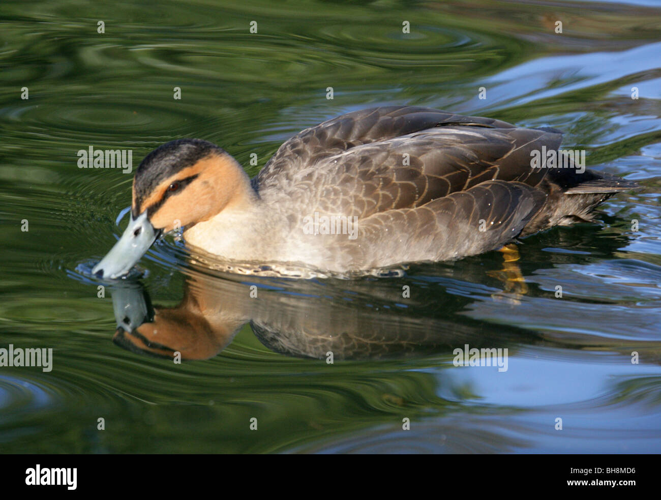Philippine Duck, Anas luzonica, Anatidae. Rare Duck from the Philippines, Asia. On the IUCN Red List of Threatened - Stock Image