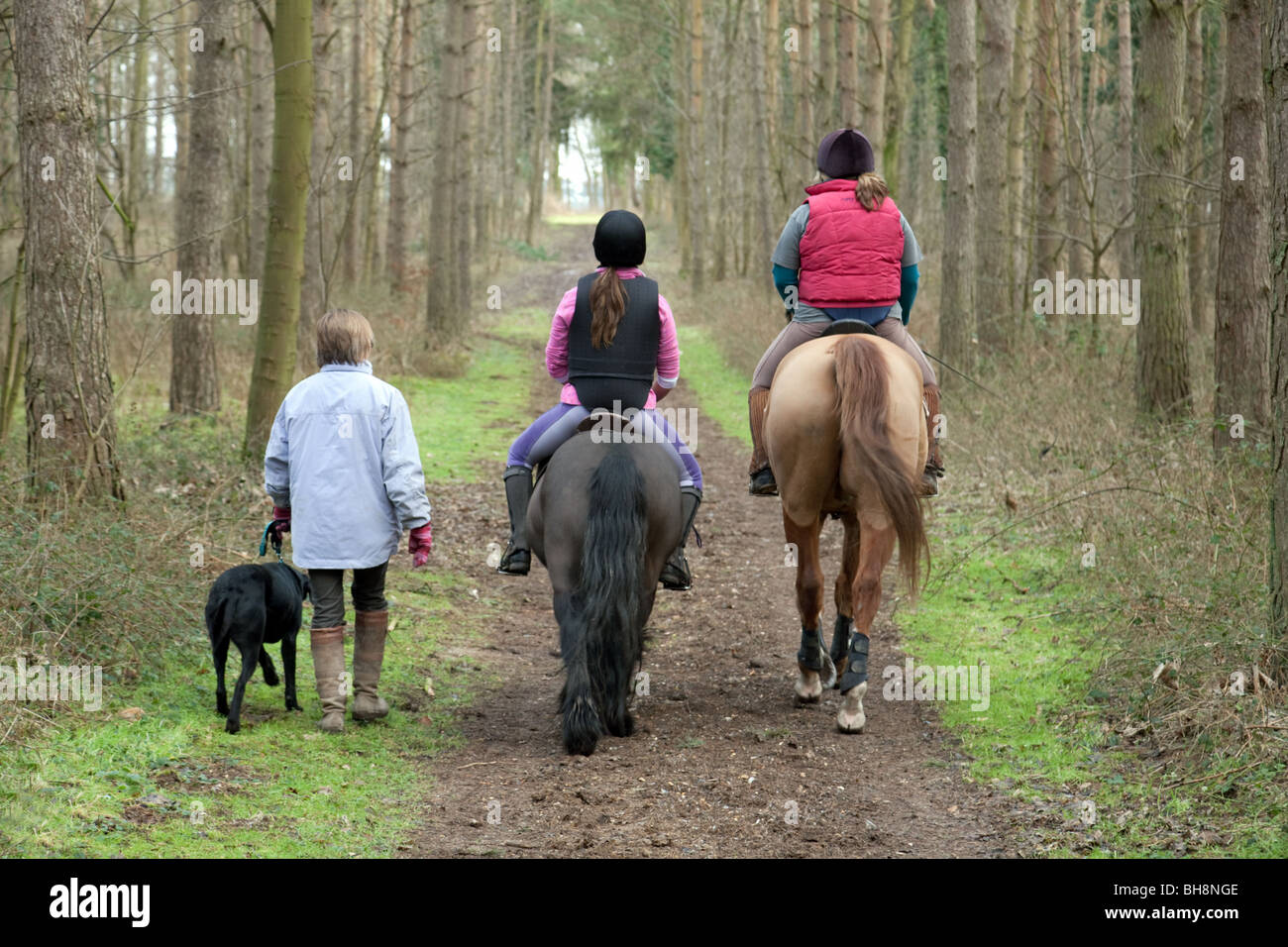 Horse riders and woman walking the dog, rear view, Thetford Forest, Norfolk, UK - Stock Image