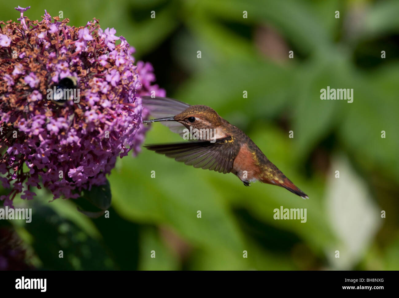 Rufous Hummingbird Selasphorus rufus female feeding on nectar from a Buddleia flower in Nanaimo Vancouver Island - Stock Image