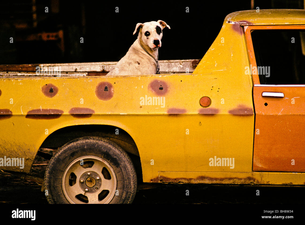 Spotted dog in back of ute Queensland Australia - Stock Image