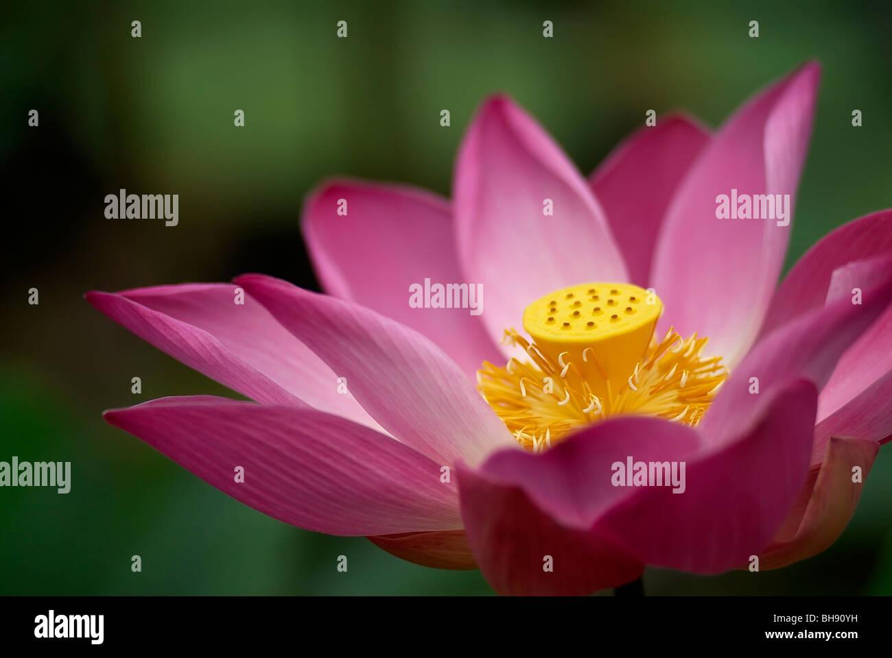 Lotus flowers bali stock photos lotus flowers bali stock images close up of lotus flower stock image izmirmasajfo
