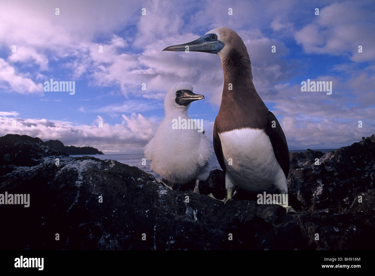 Brown Booby, Adult with Chick, Sula leucogaster, Cocos Island, Costa Rica - Stock Image