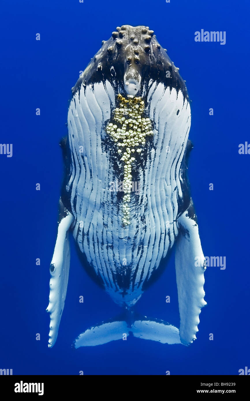Humpback Whale, Megaptera novaeangliae, Big Island, Kona Coast, Hawaii, USA - Stock Image