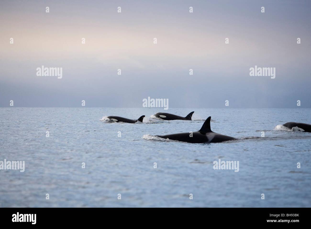 Group of Killer Whales, Orcinus orca, Solvaer, Vestfjord, Lofoten, Norway - Stock Image