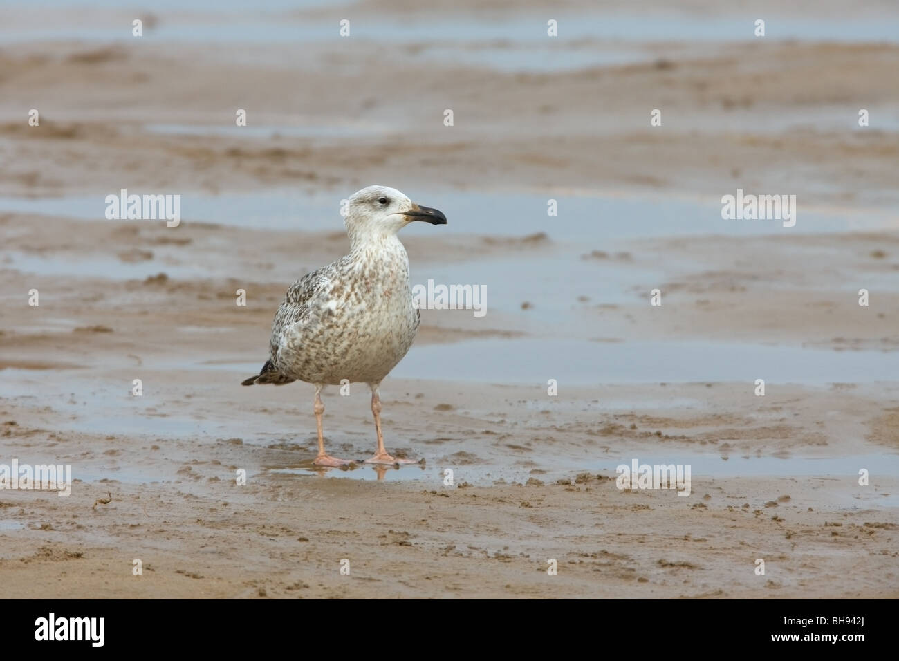 Great Black-backed Gull Larus marinus 1st winter immature perched on the beach - Stock Image