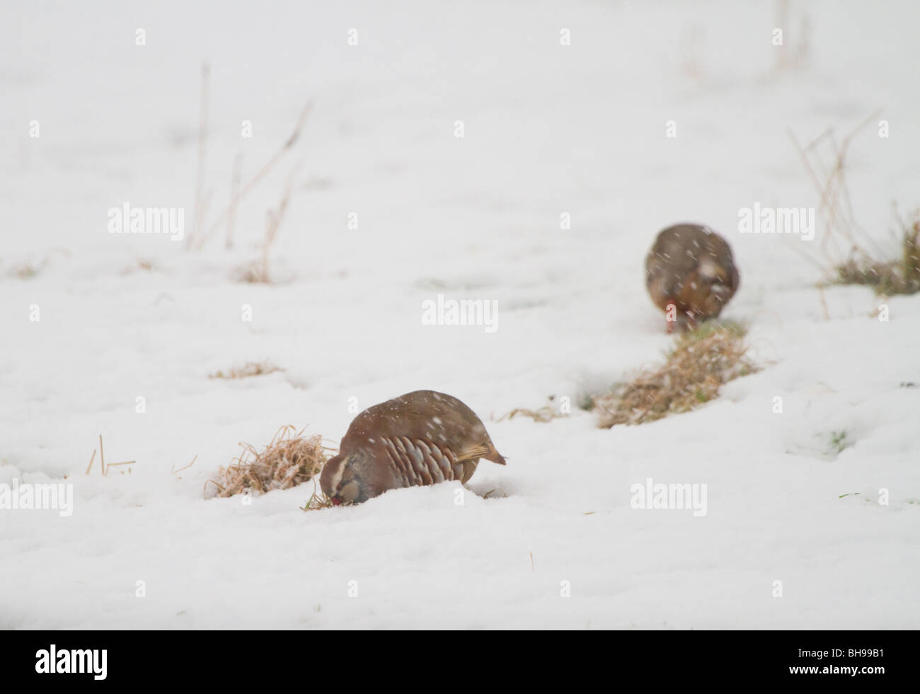Red-legged partridges, Alectoris rufus, feeding in a snowy field, Perthshire, Scotland - Stock Image