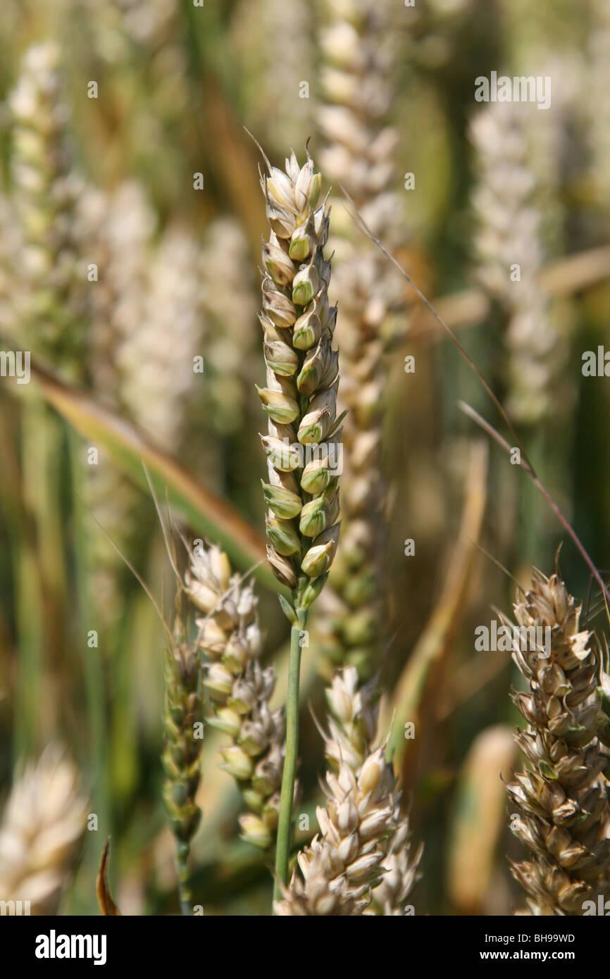 Ears of corn, or wheat. - Stock Image