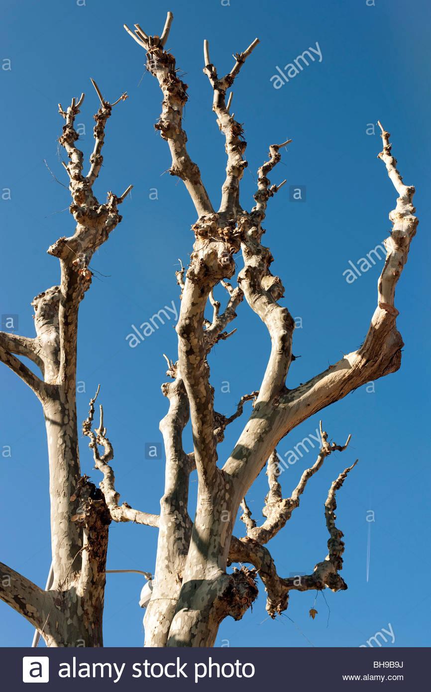 Trimmed Platanus (Plane) trees - Stock Image