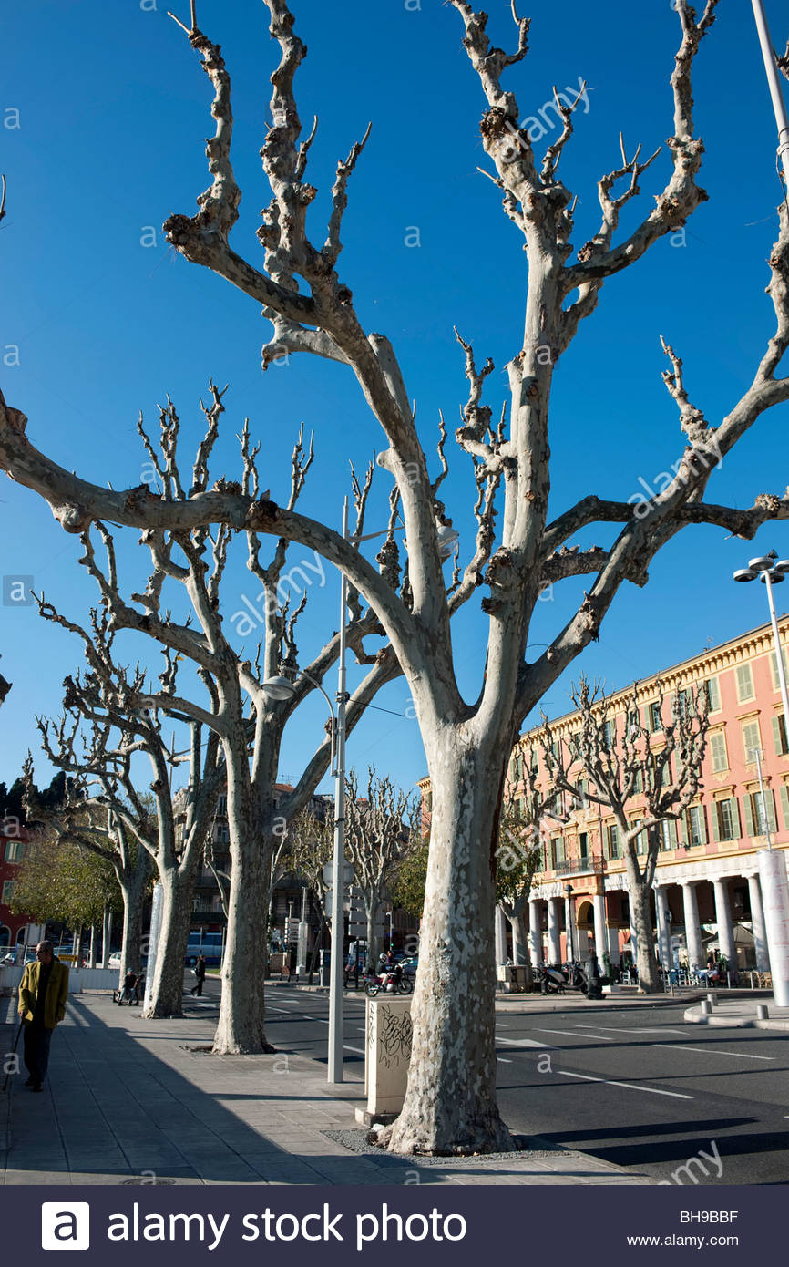Trimmed Platanus (Plane) trees, Place de I'Ile de Beaute, Port of Niceatanus, Port of Nice, France - Stock Image
