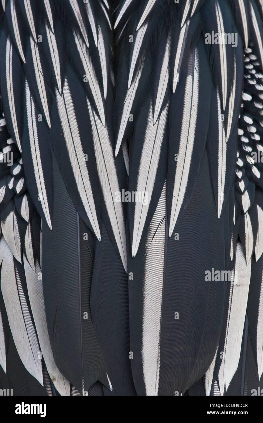 Close up of Anhinga feathers - Stock Image
