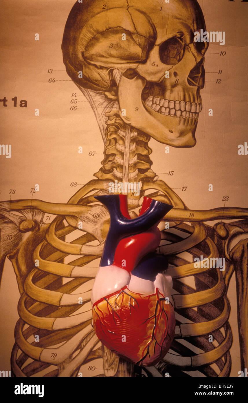 Skeleton and heart model - Stock Image