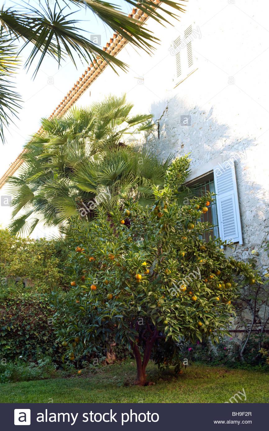 Orange tree (Citrus), orange fruit, Monastere de Cimiez, Nice, France - Stock Image