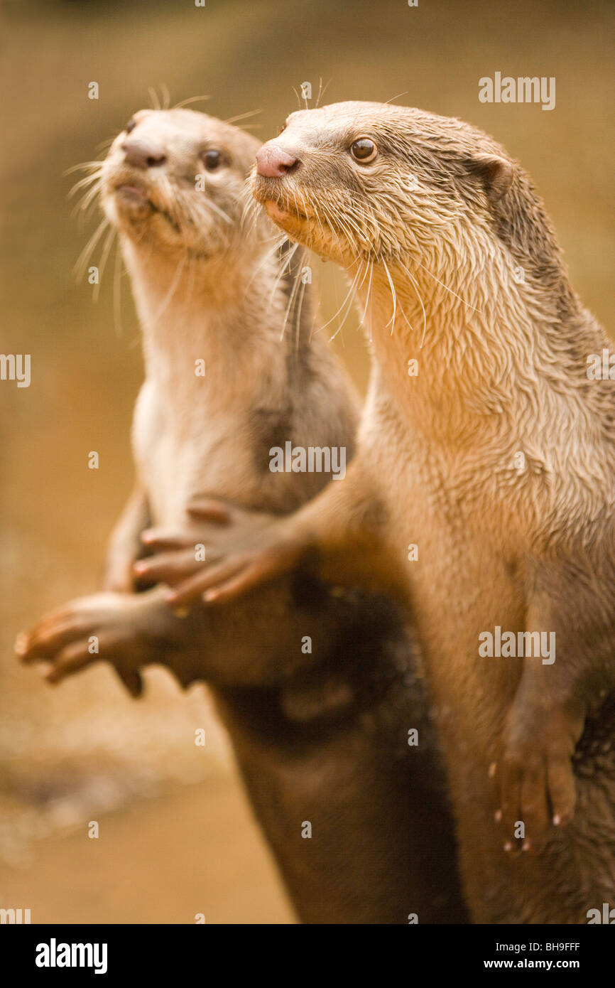 Smooth-coated Otters (Lutragale perspicillata). - Stock Image