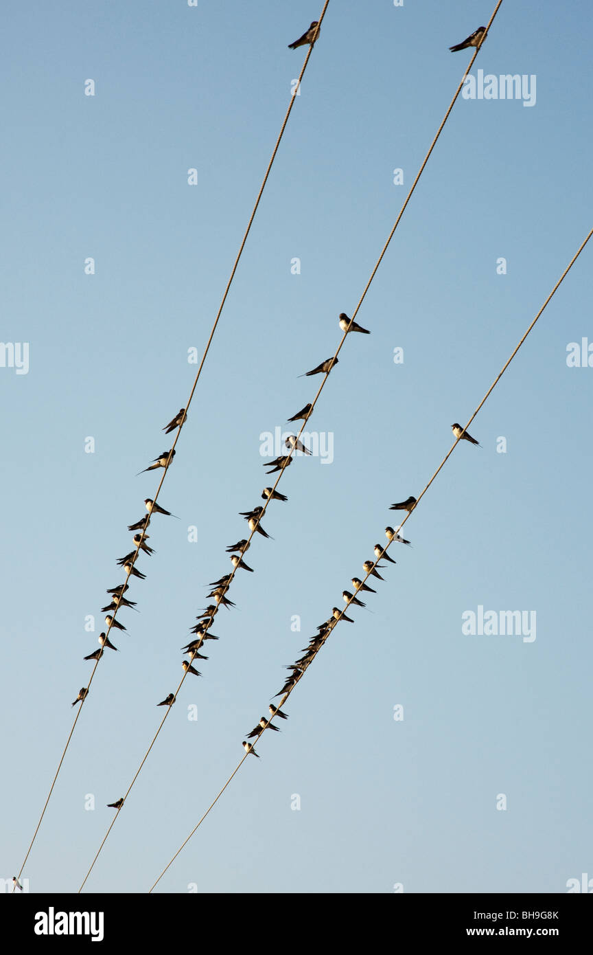 Hirundo rustica. Swallows perched on electricity cable in India - Stock Image