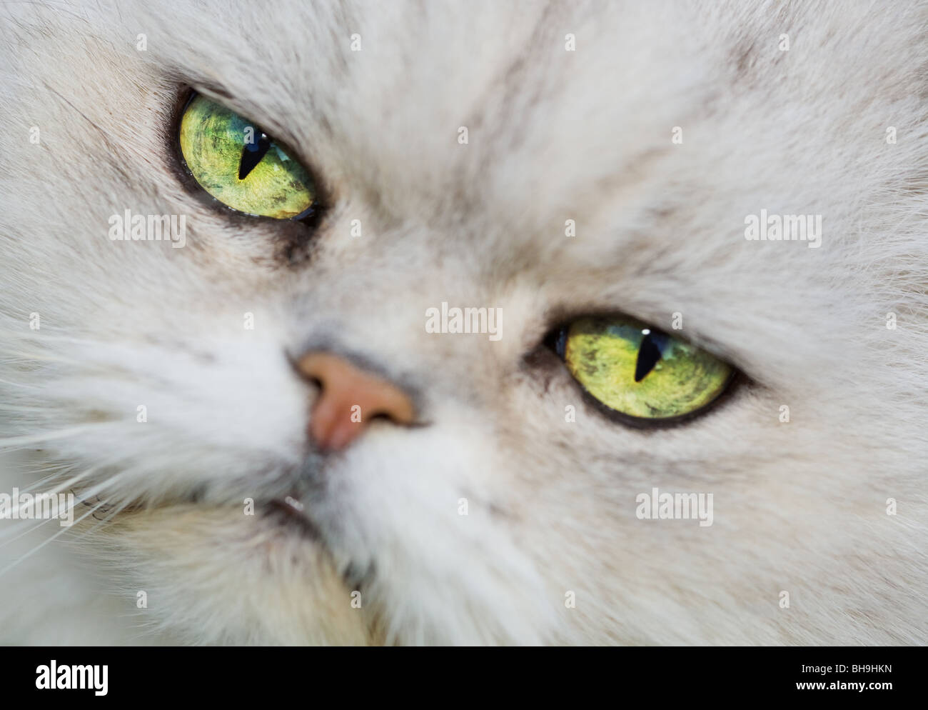 The Face of a White Persian Chinchilla Cat Stock Photo