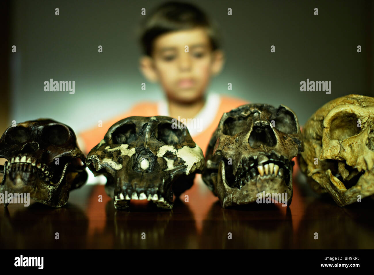 Boy looks at reproduction skulls of extinct human ancestors - Stock Image