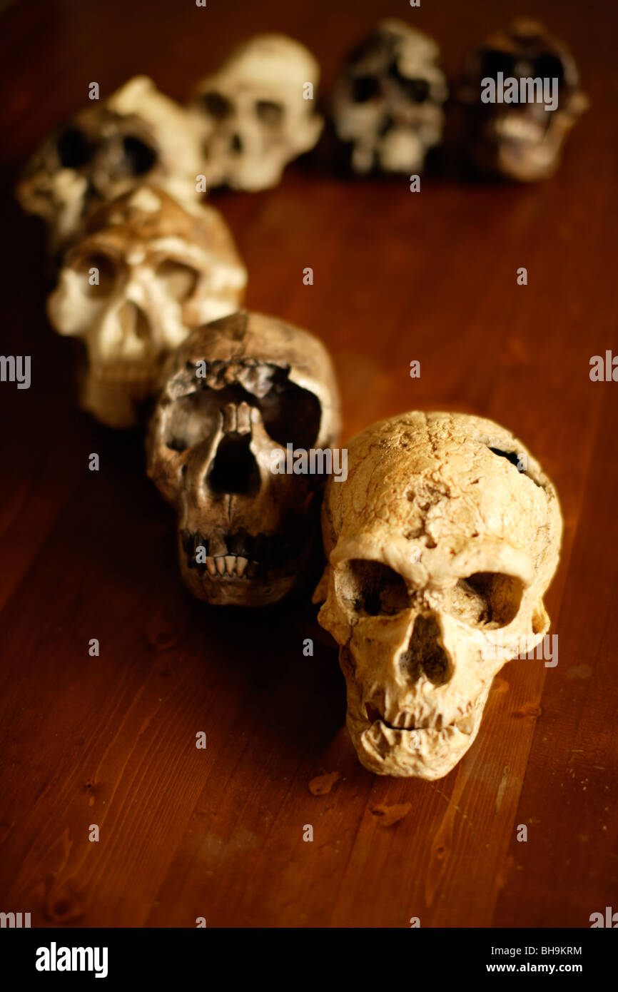 Reproduction skulls of human ancestors arranged on a bench - Stock Image