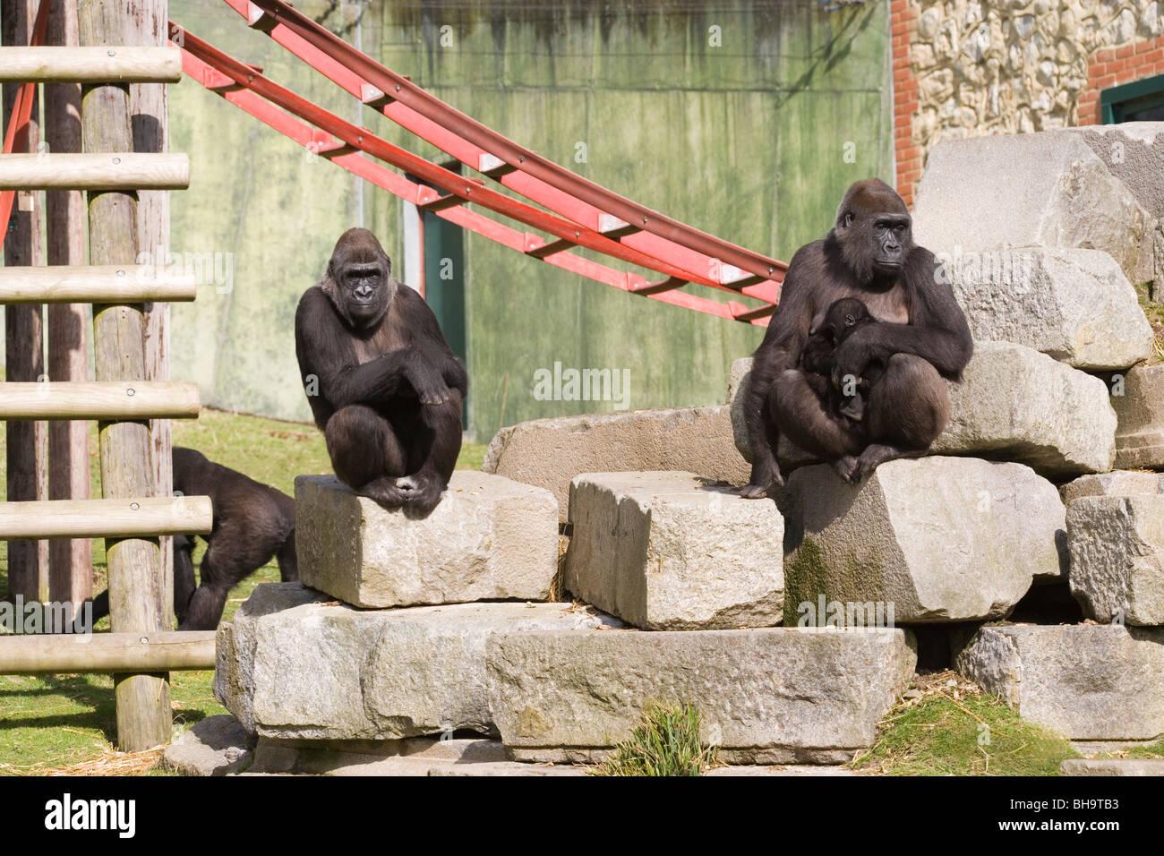 Western Gorillas (Gorilla gorilla). Zoo animals midst 'furniture' objects of 'environmental enrichment'. - Stock Image