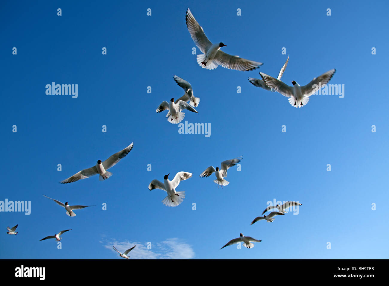 Flock of Black-headed gulls (Larus ridibundus) in flight, Germany - Stock Image