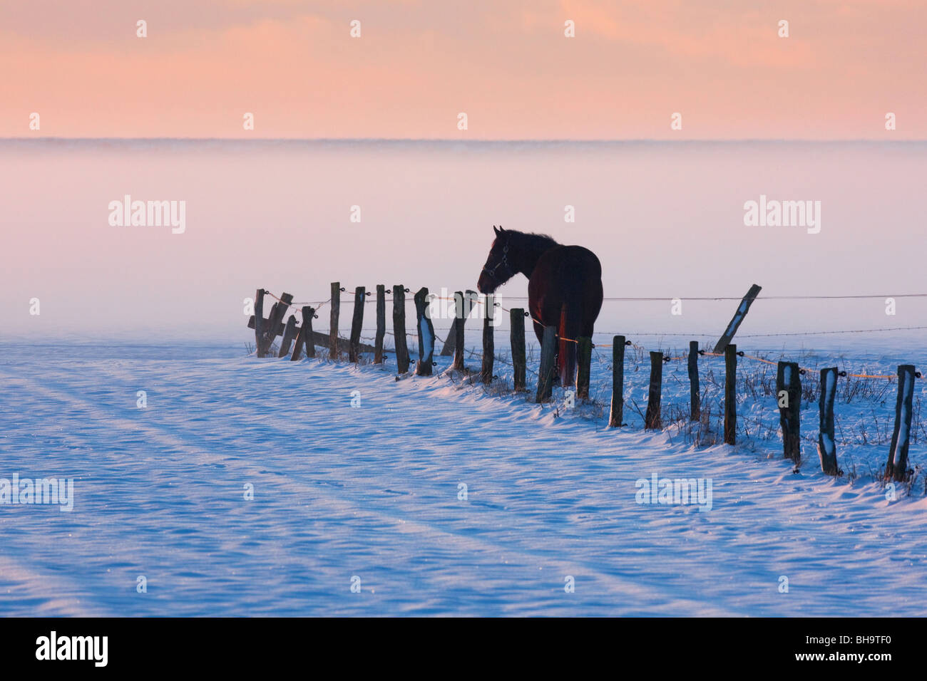 Horse (Equus caballus) in fenced field in the snow in winter, Germany - Stock Image